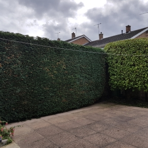 Evergreen hedge